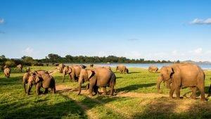 Kaudulla National park Elephant
